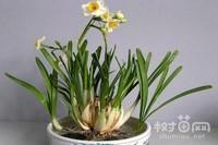 水仙花怎么繁殖,水仙花的繁殖方法(5