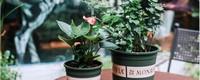 加仑盆适合哪些植物