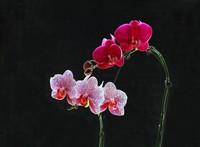 蝴蝶兰花枝高清图片