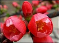 红腊梅花图片大全大图