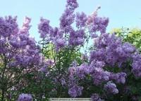 紫罗兰花朵图片