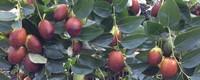 一亩地能种多少棵枣树