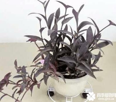 紫鸭跖草怎么盆栽好看?这么养它会越