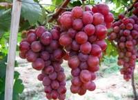 葡萄像什么:像颗颗紫色的水晶球