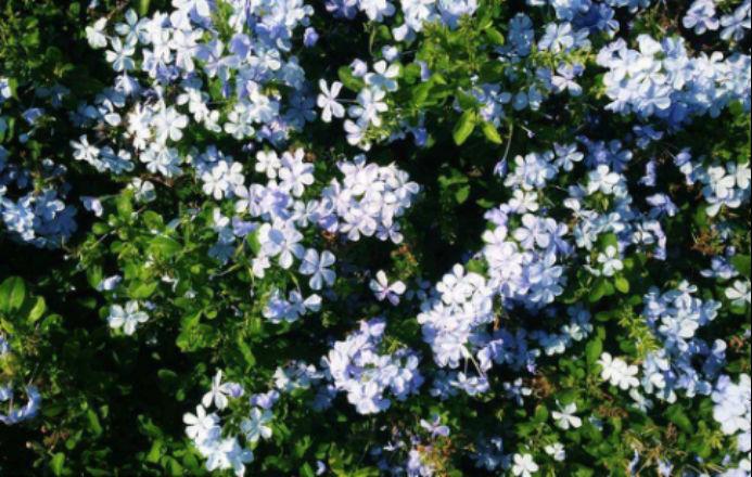 不知道优雅美丽的蓝雪花如何养殖?掌握这几点!立马可以把它种在家里!
