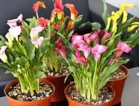 马蹄莲的花语是什么,代表着纯洁无瑕