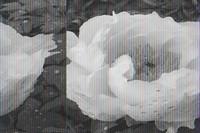牡丹花的十大品种(附图片和简介)