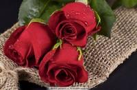 美丽玫瑰花朵图片