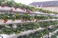 家庭无土栽培草莓怎么养,无土栽植光照养护
