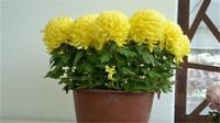 家里养菊花对风水怎么样