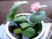 家养碗莲的风水学应用,招财招福又能