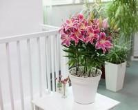 百合花盆栽图片