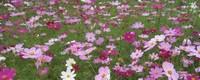 波斯菊种植方法