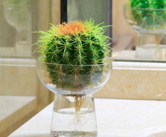 仙人球水培方法:仙人球在诱变过程中严禁对球体喷水,否则球体容易腐烂坏死