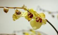 蝴蝶兰花谢后怎么处理,轻剪二次开花