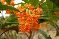 红色桂花是什么品种,属于丹桂的一种