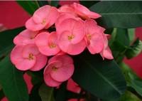 四季海棠有毒吗,四季海棠能放在卧室吗(可以)