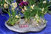 水仙花语是什么意思,代表着自恋等多种含义