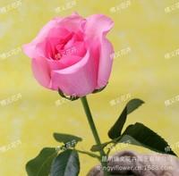 水蜜桃玫瑰花水珠图片