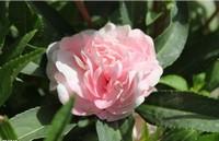 茶花凤仙的养殖方法:适合春天播种的