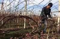 春天怎么给葡萄剪枝,在3~4月摘心修剪