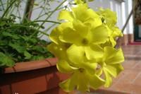 百慕大奶油花的花语和寓意