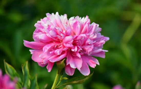 芍药可以种在家里吗:家里是可以芍药的,芍药花大色艳、观赏性佳,非常适合最为美化园林植物