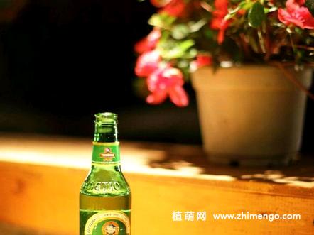 啤酒可以浇花吗?用啤酒浇花、养花好