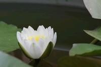 水莲花怎么养
