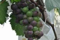 葡萄的品种有哪些,盘点八大常见的品
