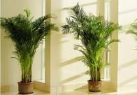 凤尾竹适合放在客厅吗,风尾竹放在什
