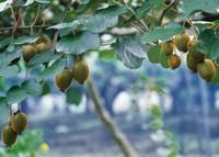 猕猴桃几年结果:一般采用嫁接方法繁殖,第二年即可挂果,第四年进入盛产期