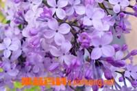 紫丁香花能泡水喝吗