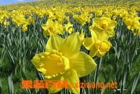 水仙花的功效与作用 水仙花的药用价值