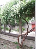 野生木香花图片