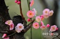 梅花怎么繁殖,腊梅的5种繁殖方法(扦插最简单)