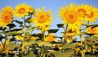 向日葵为什么向着太阳,两种原因共同