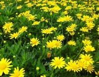 菊花什么时候开花季节,菊花品种和开