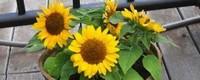盆栽向日葵养殖方法