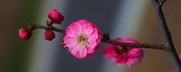 腊梅的花语和象征