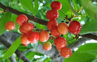 樱桃树的价格:种子售价2元/袋(约10粒