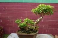 石榴树什么时候嫁接好,春季3~4月成活
