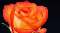 橙玫瑰花语