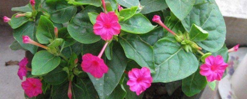 紫茉莉的花语及介绍