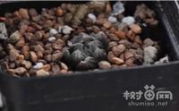 玉露叶子干瘪怎么恢复,玉露干瘪的原