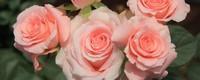 粉红玫瑰的花语是什么