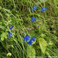 蓝色花毛茛图片
