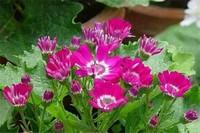瓜叶菊开花后就死吗,花期后可收集种