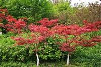 红枫树苗价格暴跌,市场饱和与病虫害