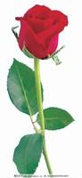 一支玫瑰花背景图
